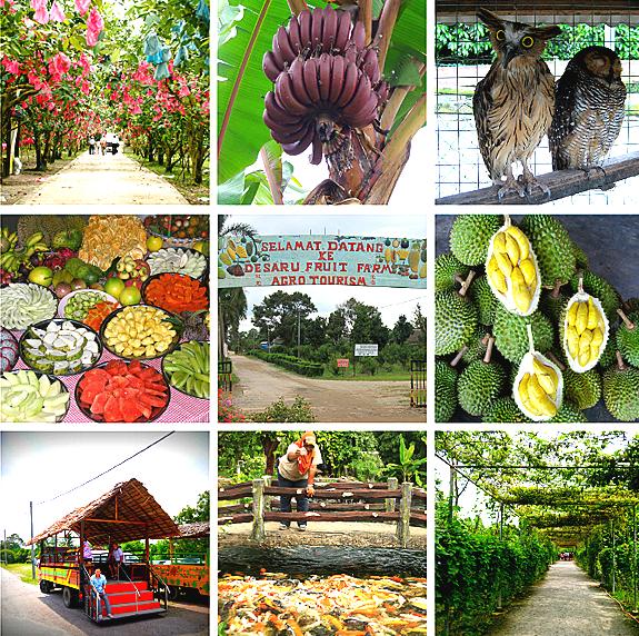 desaru fruit farm 1